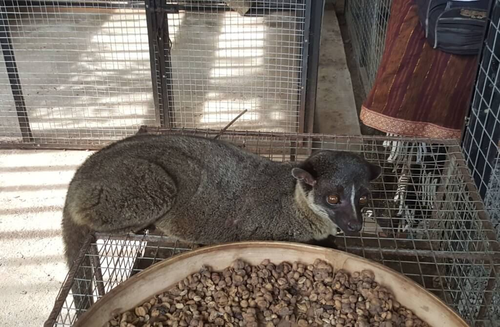 Ein Luwak (Fleckenmusang)