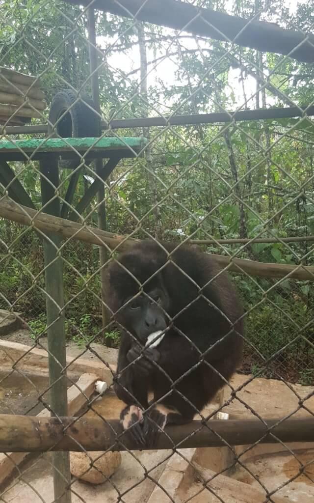 Der Affe Congo