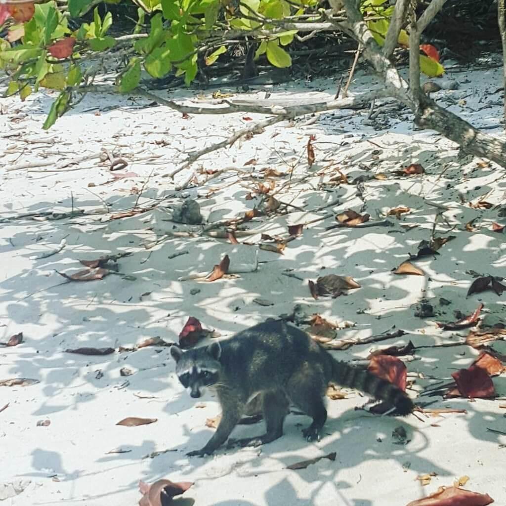 Ein Waschbär am Strand