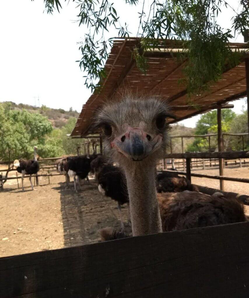 In der Cango Ostrich Show Farm