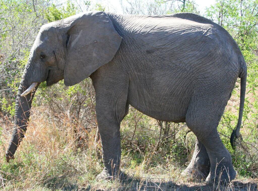 Ein Elefant im Kruger Nationalpark