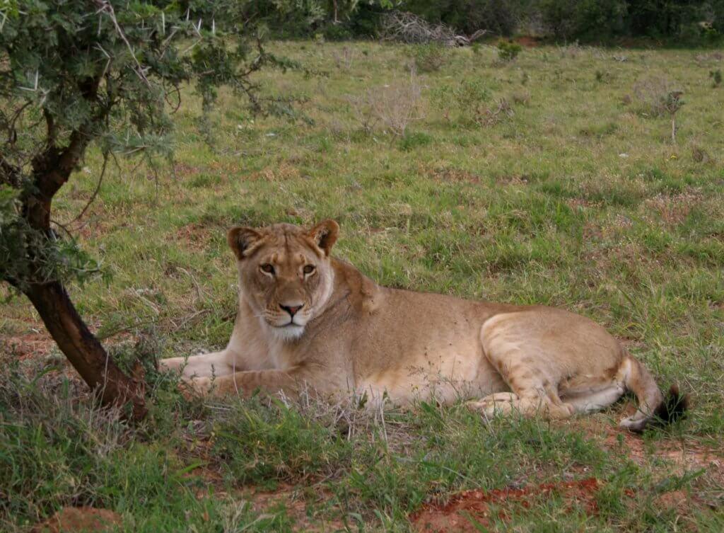 Eine Löwin im Addo Elephant Nationalpark