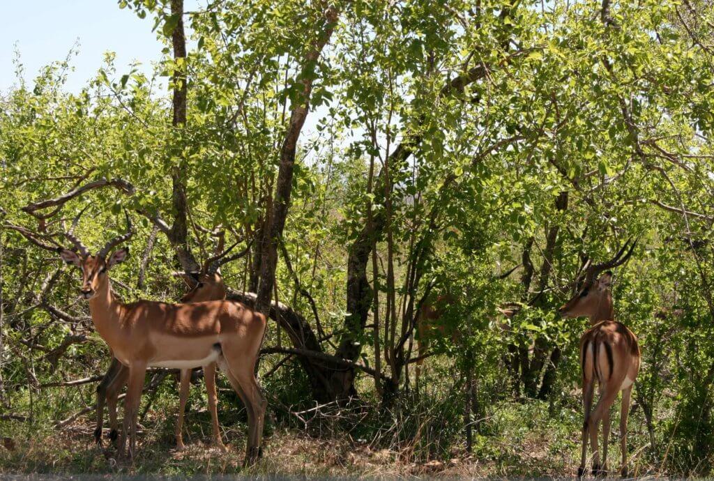 Antilopen im Kruger Nationalpark