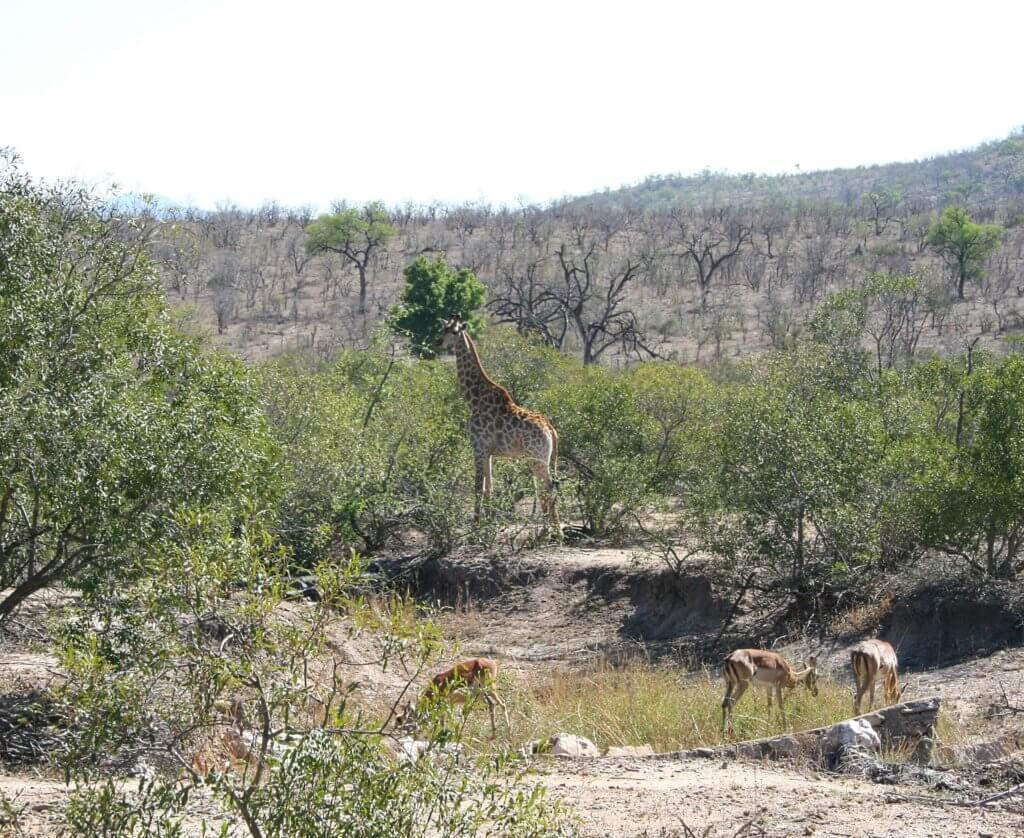 auch ein toller Anblick: eine Giraffe im Kruger Nationalpark