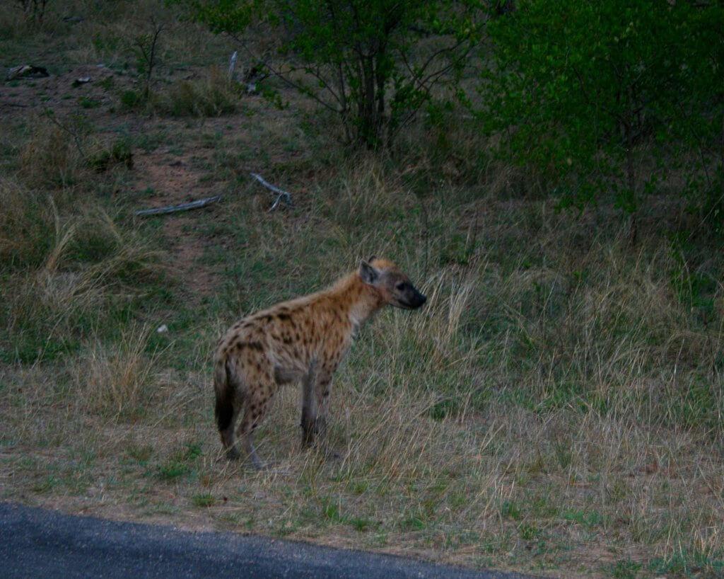 eine Hyäne am frühen Morgen