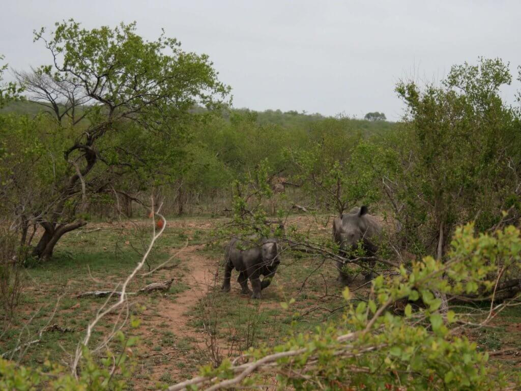 Ein Baby-Nashorn mit Mutter?