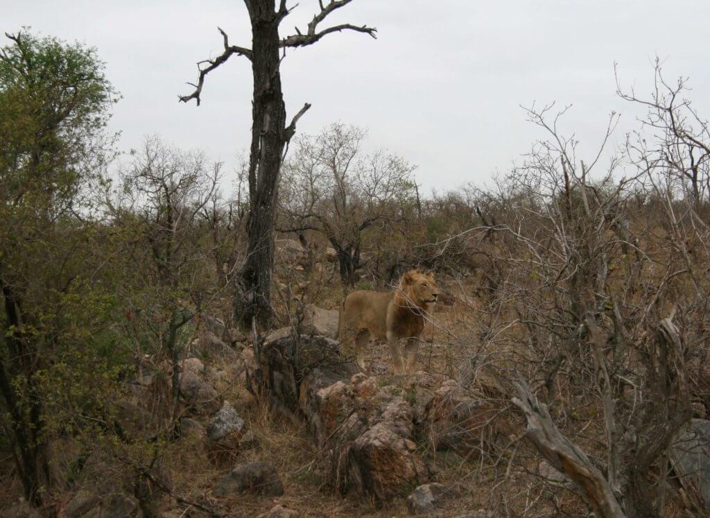ein Löwe im Kruger Nationalpark