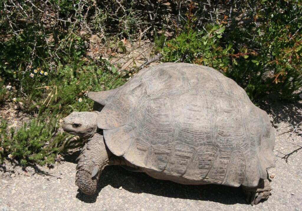 eine große Schildkröte, die unseren Weg kreuzte