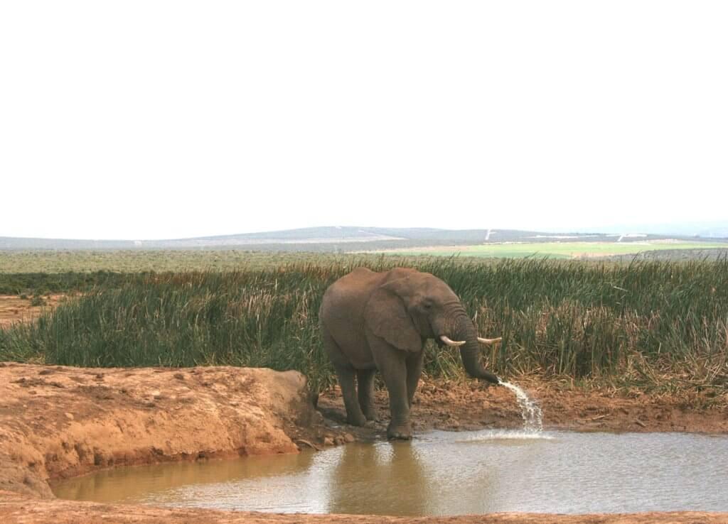 ein Elefant, der Schlamm als Sonnenschutz benutzte