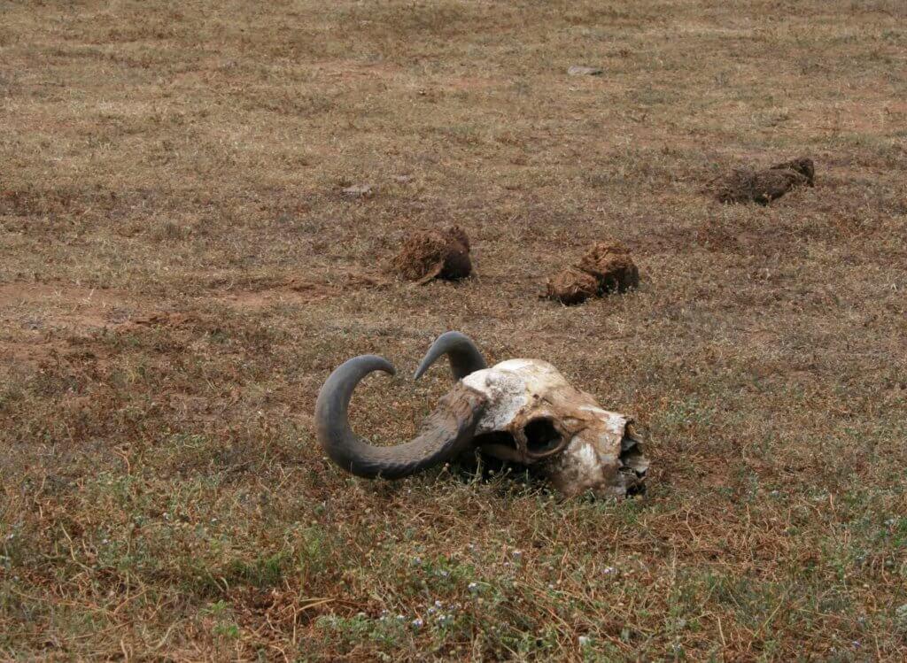 ein Büffelschädel im Addo Elephant Nationalpark