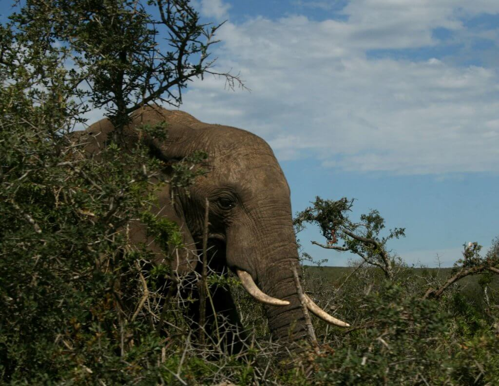 Blickkontakt mit einem wirklich riesigen Elefanten