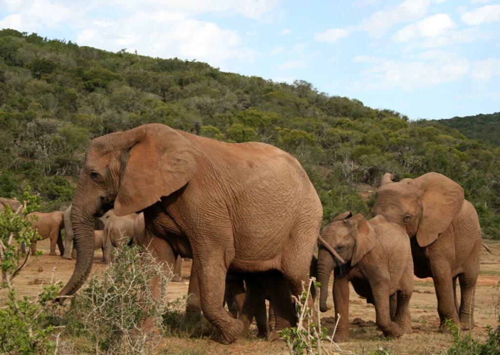 eine Elefantenfamilie beim Spaziergang