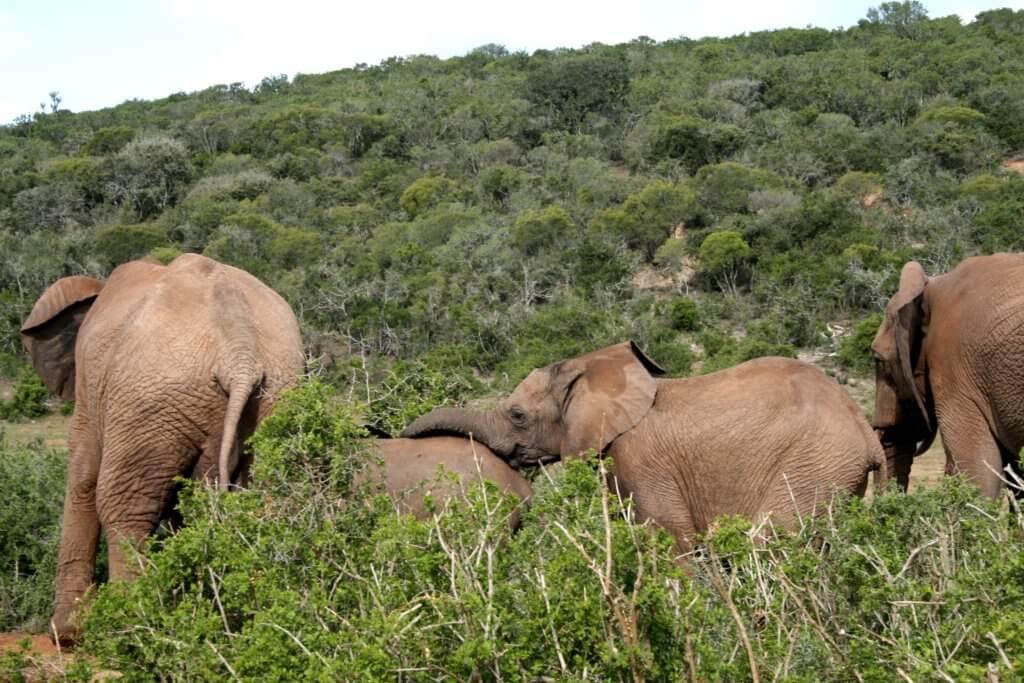zwei kleine Elefanten zwischen zwei großen Elefanten