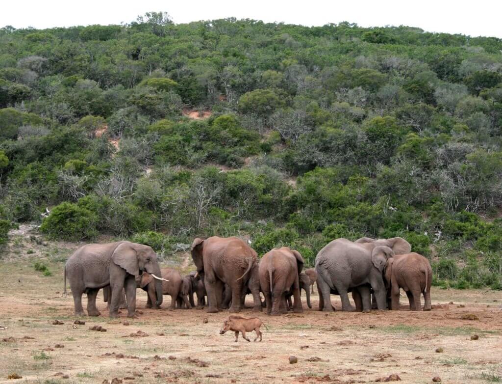 Eine Gruppe von Elefanten - davor ein Wildschwein