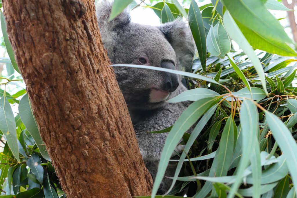 ein Koala :-)